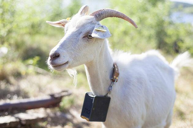 Goat - Vietnamese Zodiac Animals