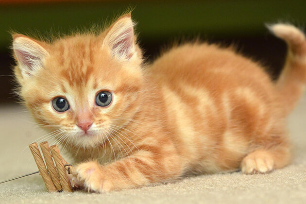 cat - Vietnamese Zodiac Animals