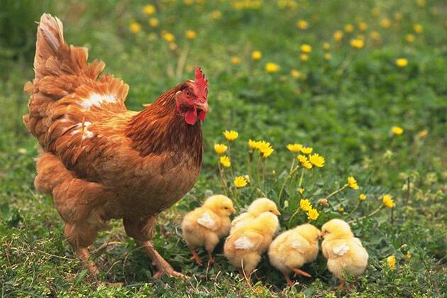 chicken - Vietnamese Zodiac Animals