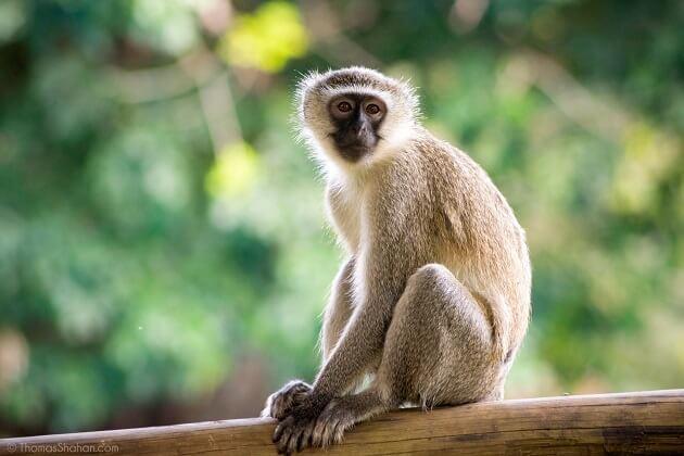 monkey - Vietnamese Zodiac Animals