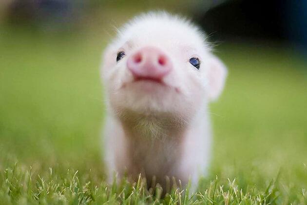 pig - Vietnamese Zodiac Animals
