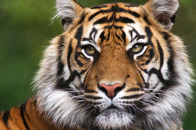 tiger - Vietnamese Zodiac Animals