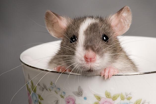 Vietnamese Zodiac Animals - rat